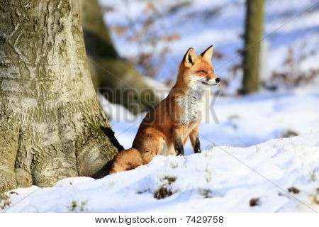 a photo of a red fox in winter poster