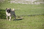 Cute Pug at Dog Park in Florida. poster
