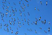 Flock of Pelicans in the sky. Africa. Kenya. poster