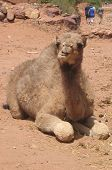 Baby Camel resting in Morocco. poster