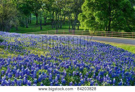 Texas Bluebonnet Field Along Country Road