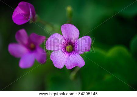 Geranium Flower Macro