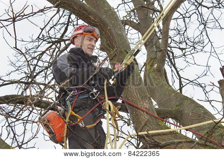An arborist using a chainsaw to cut a walnut tree, dangerous work
