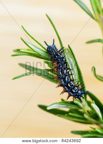 Rosemary  -the Plant For Anti Worm .