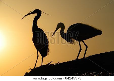 Two Heron Gathering In The Sunset