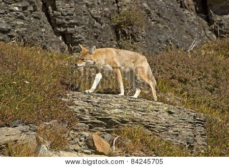 Coyote On The Move, Glacier National Park