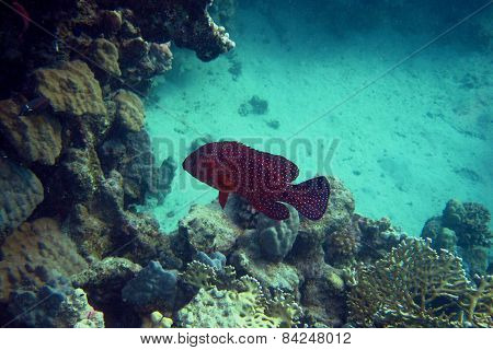 Jewels Grouper Fish