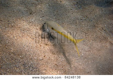 Yellow Mullet Fish On Seabed