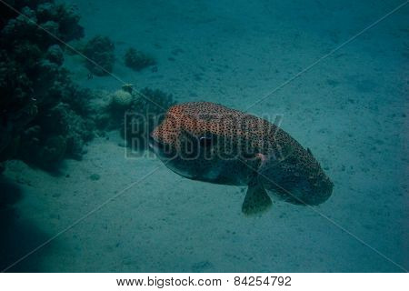 Giant Blowfish In The Ocean