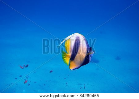 pennant fish in the blue sea in egypt