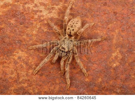 Brown Baboon Tarantula