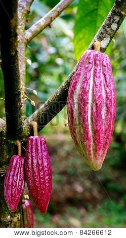 Cocoa Cacao pods on tree