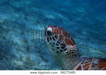 sea turtle while diving view of head close