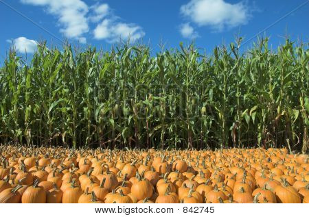 corn and pumpkin field