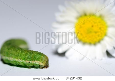 caterpillar with big flower closeup on white background