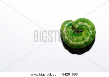 green caterpillar curled up on white background