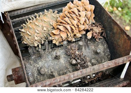 Processing Of The Cone Of A Pine Nut