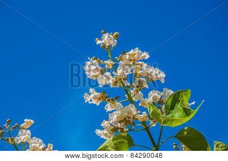 Spring Flower Catalpa