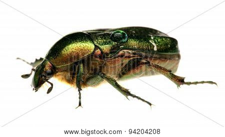 Green beetle. Rose chafer , cetonia aurata, isolated on white background