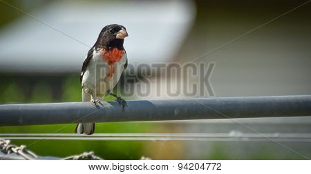 Young Red Breasted Grosbeak