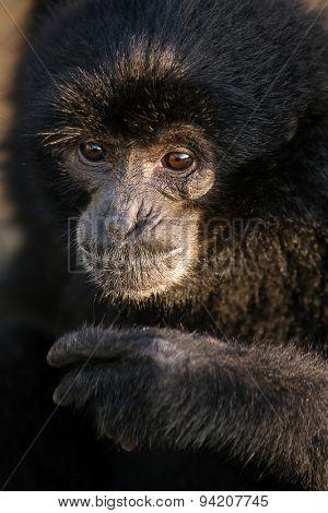 Black Gibbon named Botti  close up portrait, Bukkitingi, Sumatra, Indonesia