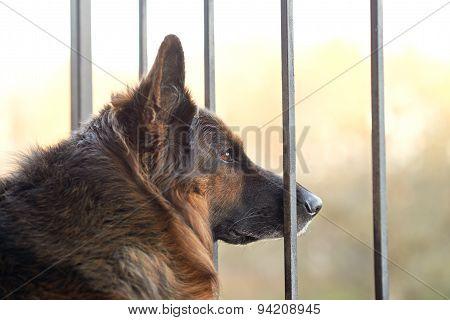 Sad german shepherd dog