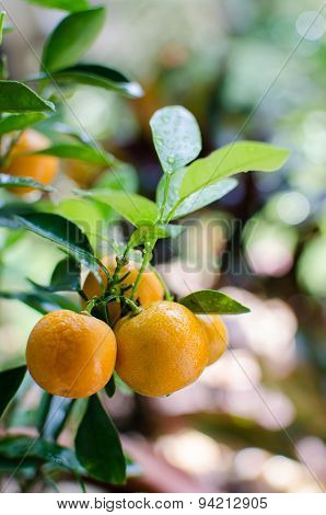 Closeup Of Oranges Fruit On The Tree