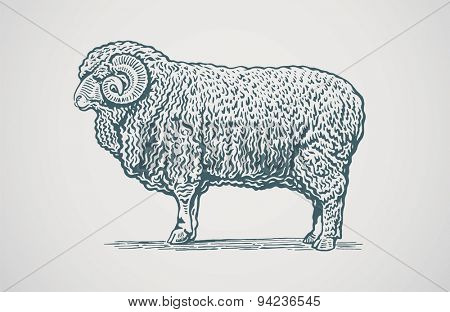 Vector illustration of ram.