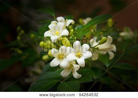 Orange Jessamine Flowers.