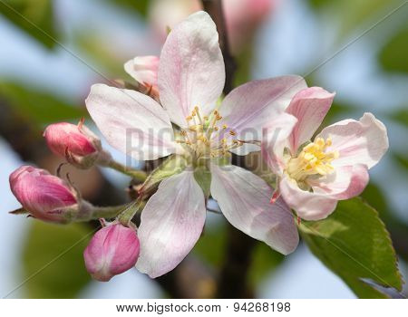 Spring Time Detail Of Flower Of Apple Tree