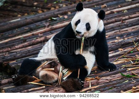 one giant Panda bear eating bamboo roots in Bifengxia base reserve Sichuan China