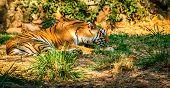 Striped tiger in captivity in the zoo in Mysore, India poster