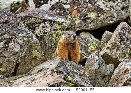 Yellow-bellied marmot stands on rocks at Sheepeaters Cliff in famous Yellowstone National Park. Wildlife viewing is a favorite recreational activity for visitors.