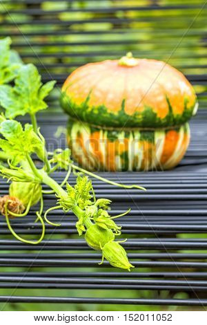 Green stem with leaves and buds in the garden on the background of a garden chair and decorative pumpkin close-up. Selective focus