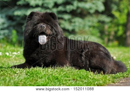 Happy black fuzzy dog the Chow Chow lying in the summer on the nature