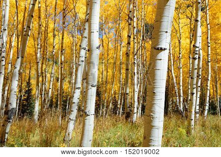 Abstract of golden aspen tree in Aspen - snowmass wilderness area Colorado