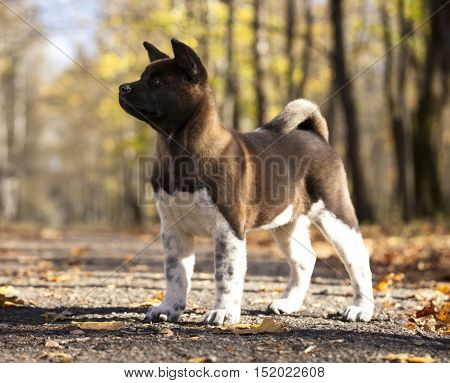 American akita portrait, puppy 3 months