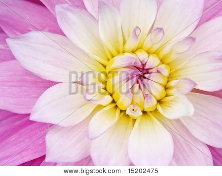 pink yellow flower background