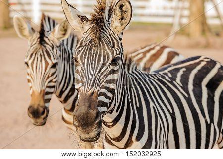 Wild two zebra socialising in Thailand .