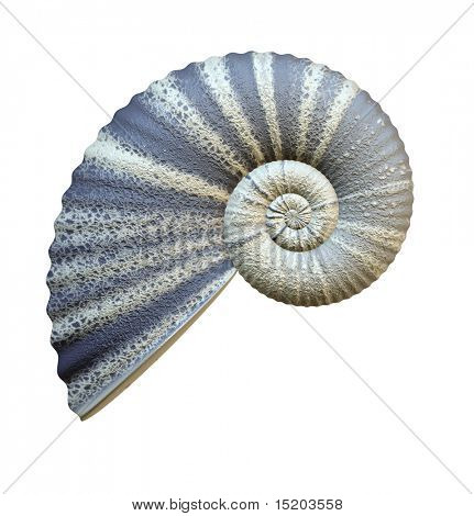 An illustration of a beautiful sea shell