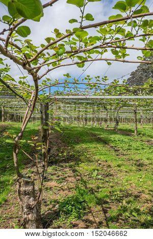 Kiwi fruit vines in spring orchard - Kerikeri New Zealand NZ