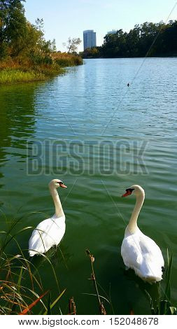 Healthy white  swan couple enjoy their  peaceful, immaterialized  and  relaxing lifestyle in the river, teasing  human  beings  restlessly chasing  after the non-stop  increase  of  housing  prices.