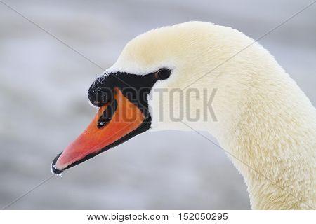 Closeup of white Mute swan Cygnus olor