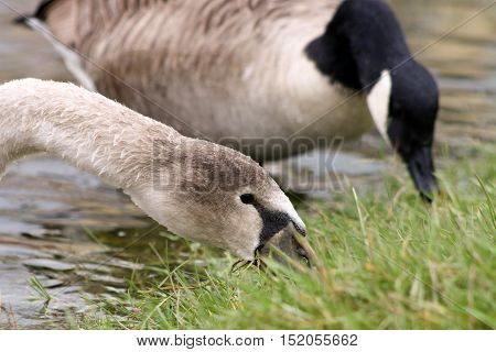 A Mute Swan cygnet and Canada Goose grazing together