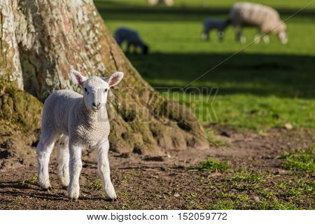 Young baby spring lamb by tree and sheep in a green farm field