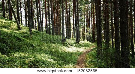 Pathway In The Pine Tree Grove. Sunny Summer Day.