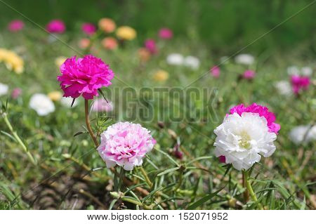 Portulaca oleracea flower or Common Purslane flower in gardenColorful color blooming during all season.