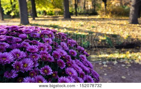 Chrysanthemum against a backdrop of autumn Park