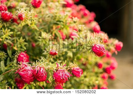 """Aster novi-belgii """"Royal Ruby"""" and early frosts"""