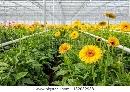 Greenhouse of a Dutch flower nursery with many brown hearted and yellow blossoming Gerbera plants ready for harvesting and transport to the customers.